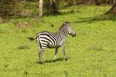 Burchell's Zebra in a meadow — Foto Stock