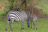 Mother and Baby Zebra in the Wilds — Stock Photo
