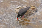 Variable Oystercatcher searching for food on a Rocky Coast — Stock Photo