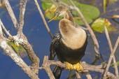 Female Anhinga in the Everglades — Stock Photo