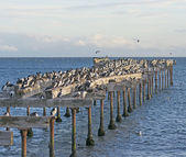 Abondoned Pier Inhabited by Cormorants — Stock Photo