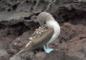 Blue-Footed Boobie Preening on the rocks of an Island — Stock Photo