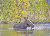Female Moose Feeding on Pond Vegetation in the Fall — Fotografia Stock