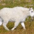 Baby Mountain Goat in an Alpine Meadow — Stock Photo #73394109