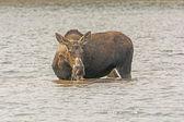 Female Moose Feeding on Lake Vegetation — Stock Photo