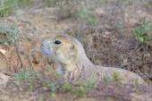 Black-tailed Prairie Dog Peeking out of its Burrow — Stock Photo