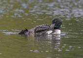 Common Loon Preening on a North Woods Lake — Stock Photo