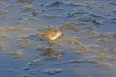 Semipalmated Sandpiper Wandering in a Salt water wetland — Stock Photo