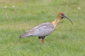 The Black-Faced Ibis in a wetland — Stock Photo
