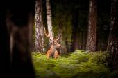 Whitetail Deer Buck standing in a woods — Stock Photo