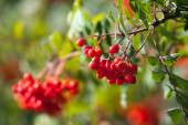 Red mountain ash on a branch, macro photo with selective focus — Stock Photo