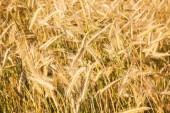 Closeup photo of ears on golden field of rye — Stock Photo