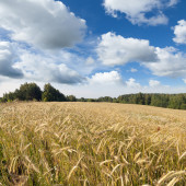 Summer landscape with yellow field of rye and clouds on blue sky — Stock Photo