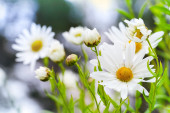 Macro photo of big white daisies in the garden, selective focus — Stockfoto