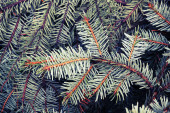 Spruce branches, photo background with toned filter effect — Stock Photo