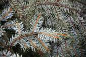 Spruce branches, natural closeup photo background — Stock Photo
