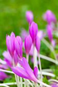 Crocus. Bright violet spring flowers on green meadow — Stock Photo