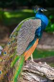 Wild Peacock sitting on old tree in tropical forest — Fotografia Stock