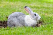 Grijze en witte konijn graaft een gat op groen gras — Stockfoto