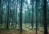 Dark pine tree forest landscape, Karelia, Russia — Stock Photo