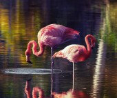 Two pink flamingos standing in the water with reflections — Stock Photo
