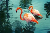 Two pink flamingos walking in the water with reflections — Stock Photo
