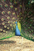 Peacock in tropical forest with feathers out, retro photo filter — Stock fotografie