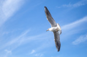 Big white seagull flying on blue cloudy sky background — Stockfoto