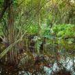 Tropical forest with mangrove trees growing in the water — Stock Photo #69803159