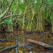 Mangrove trees growing in the water — Stock Photo #71771381
