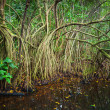 Mangrove trees growing in the water — Stock Photo #72539141