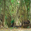 Mangrove trees growing in the water — Stock Photo #72539241