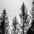 Old spruce trees, silhouettes over cloudy sky — Stock Photo #72974297