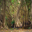 Mangrove trees growing in the water — Stock Photo #76519103