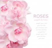 Wedding pink roses background isolated on white with sample text — Stock Photo