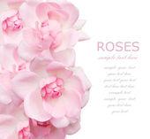 Bröllop rosa rosor bakgrund isolerad på vit med exempeltext — Stockfoto