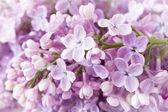 Eflatun çiçekler arka plan — Stok fotoğraf