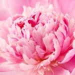 Peony flower macro — Stock Photo #64307725