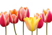 Tulips bunch with red and yellow flowers isolated on white background — Stock Photo