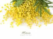 Mimosa flowers branch isolated on white background with sample text — Stock Photo