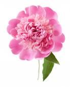 Peony flower closeup isolated on white background — Stock Photo