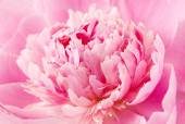 Peony flower macro — Stock Photo