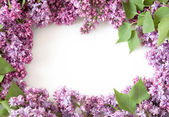Lilac flowers bunch isolated on white background — Stock Photo