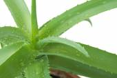 Aloe Vera leaves with water drops isolated on white background — Stock Photo