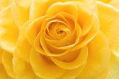 Beautiful yellow rose closeup — Stock Photo
