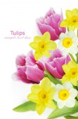 Tulip, mimosa and narcissus flowers background isolated on white with sample text — Stock Photo
