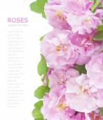 Pink roses background isolated on white with sample text — Stock Photo