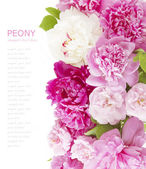 Roses and peony background isolated on white with sample text — Stock Photo