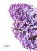 Ljuslila blommor gäng isolerade på vit bakgrund med exempeltext — Stockfoto