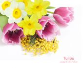 Mimosa, tulip and narcissus flowers isolated on white background with sample text — Fotografia Stock